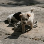 Overcoming culture shock in Thailand, dogs