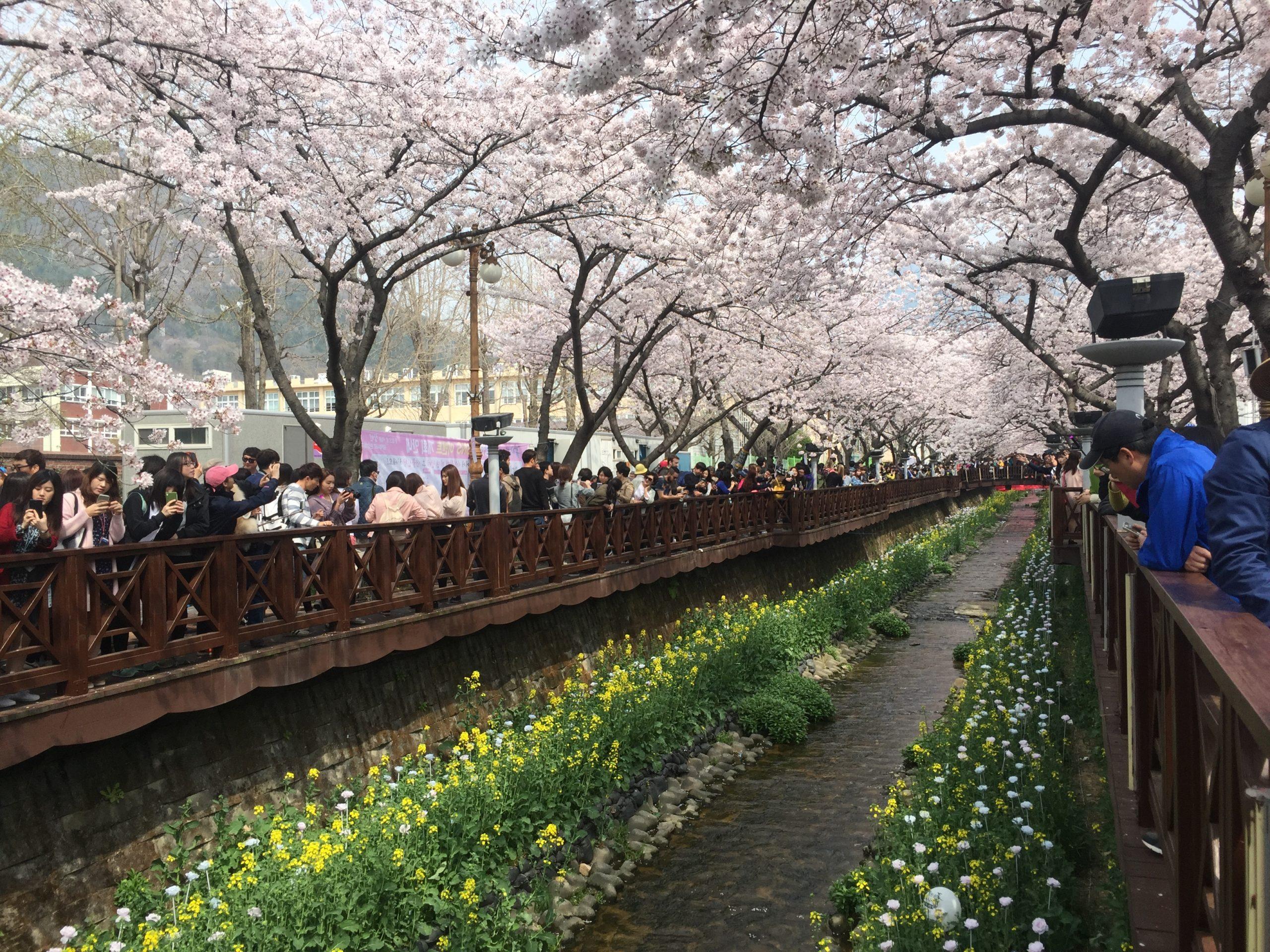 The cherry blossom season is really pretty in Korea! This photo courtesy of the Korea XA team